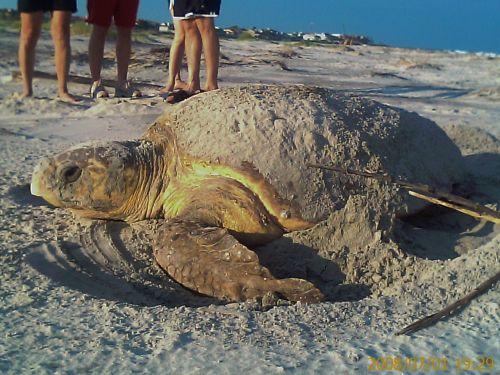 Hunting Island Sc Turtles