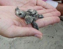 Two Headed Turtle Hatchling